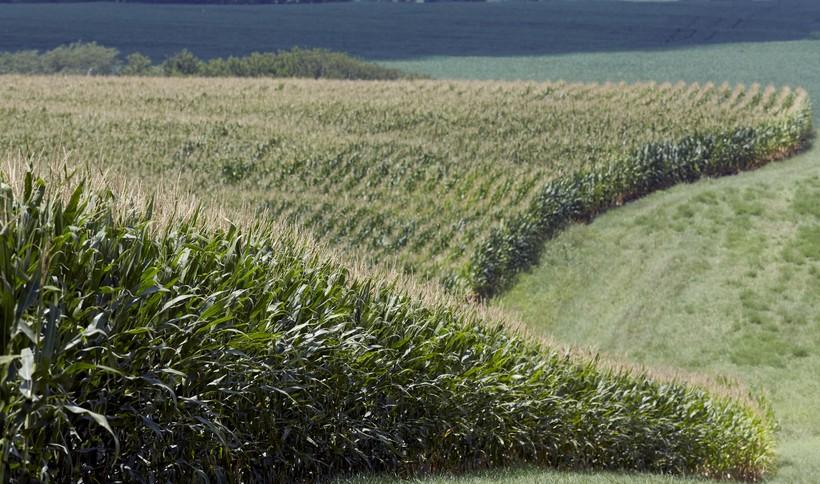 Corn field in Nebraska