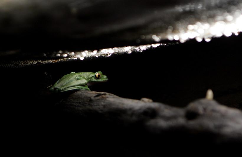 Endangered Blue-Sided Leaf Frog