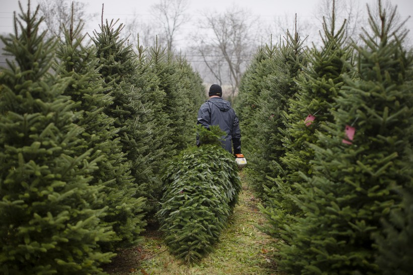 Christmas trees, cutting, sawing, nursery, balsam fir, pine