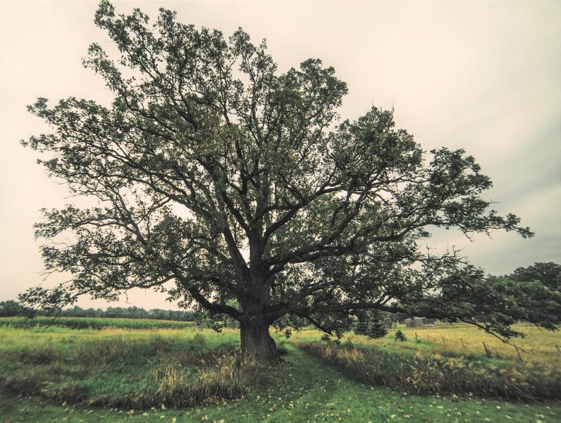 bur oak in Waukesha county