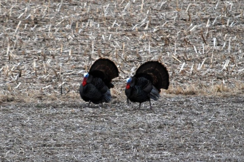 Wild turkeys in Wisconsin field