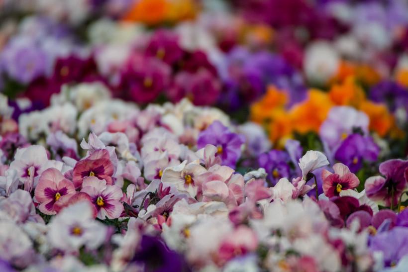 White, pink, purple and orange pansies.