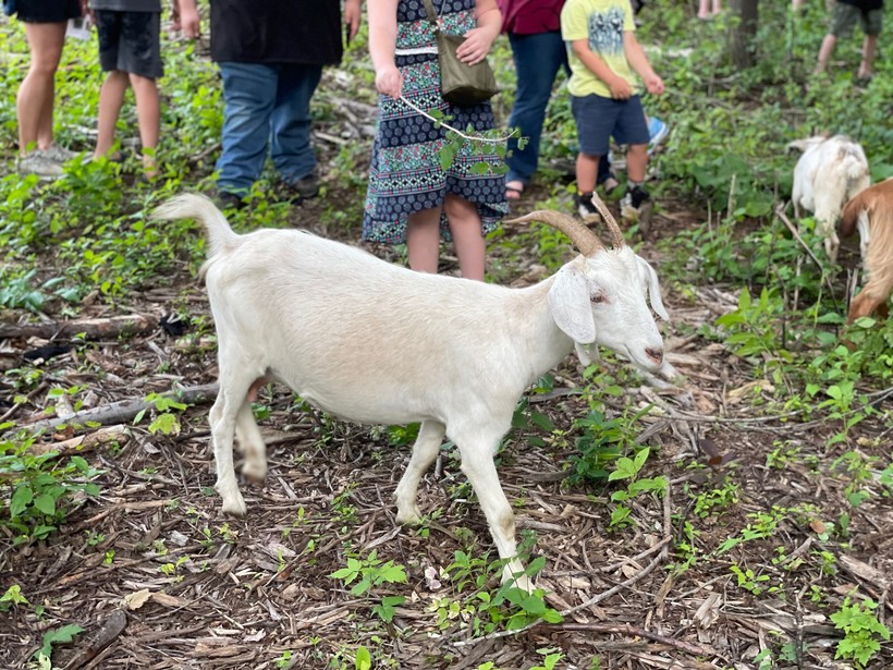 Goat at Goatapalooza in Wausau