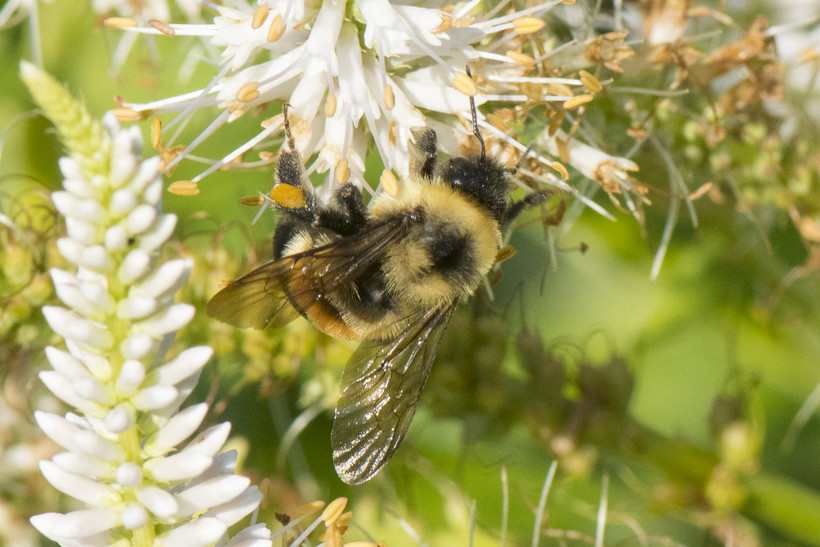 The rusty patched bumble bee, a federally endangered species, is one of 12 bumble bee species found on the UW-Green Bay campus