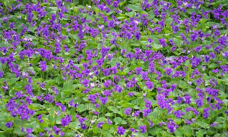 Field of wood violets