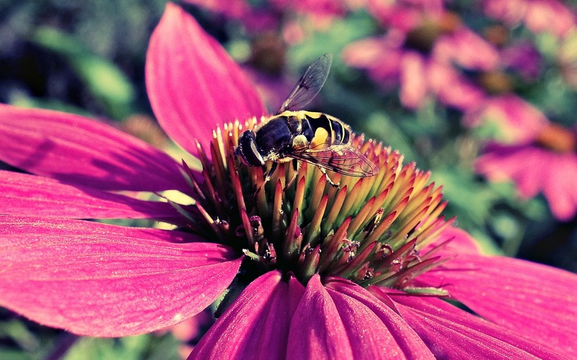 purple cone flower with bee