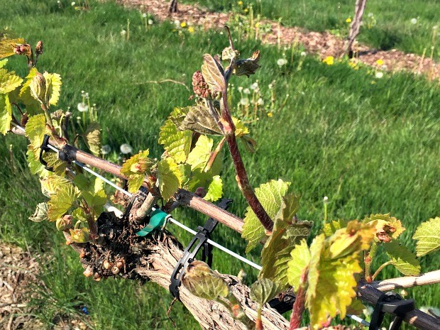 Grape vines at the University of Wisconsin West Madison Agricultural Research Station damaged by a spring frost