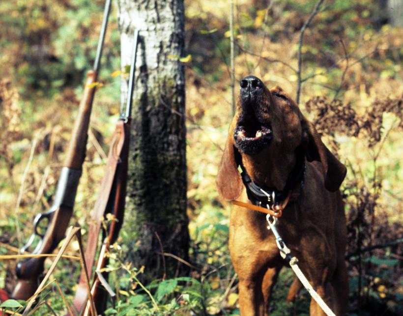 Hunting dog barking
