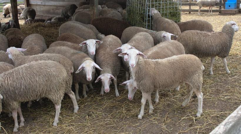 Dairy Sheep