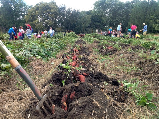 Sweet potatoes harvested by elementary students, Master Gardener Volunteers, and Community Groundworks staff at the Goodman Youth Grow Local Farm.