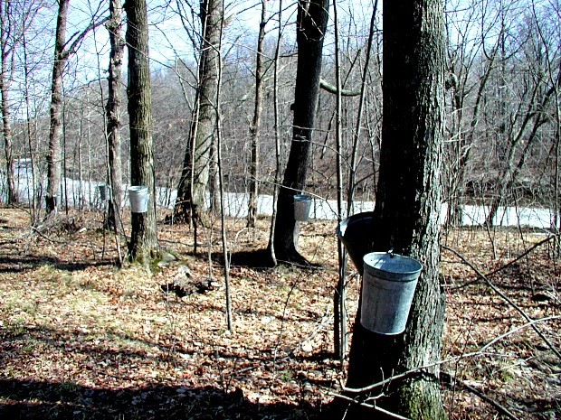 aa6b0a1b42d The 2015-16 El Niño is shortening the maple sap harvest and make collectors  and syrup producers scramble. Here