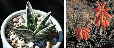 Aloe variegata, photo by Dan Mahr