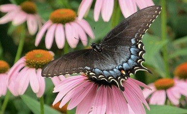 black-form female Tiger Swallowtail, photo by Judith Siers-Poisson