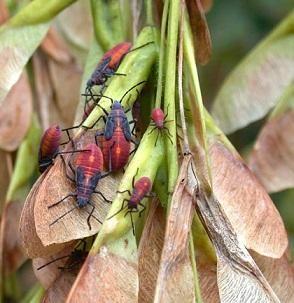 boxelder bugs, UW Insect Diagnostic Lab