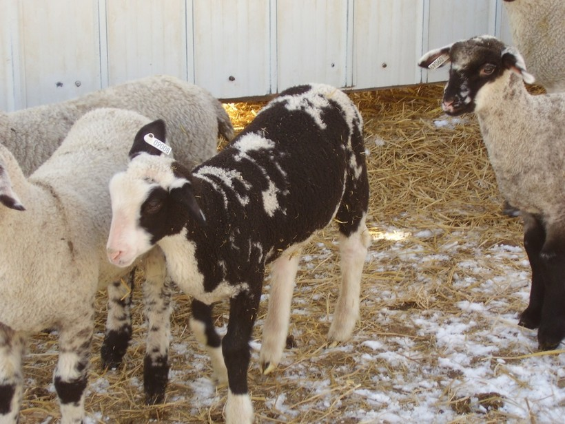 lambs, photo by Phil Holman, Superintendent, Spooner Agricultural Research Station