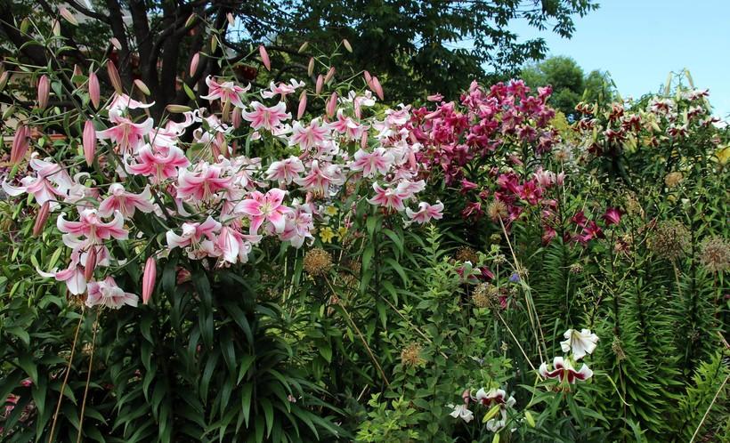 lilies, Allen Centennial Gardens