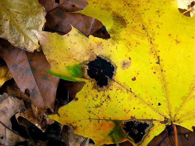 maple leaf wtih tar spots