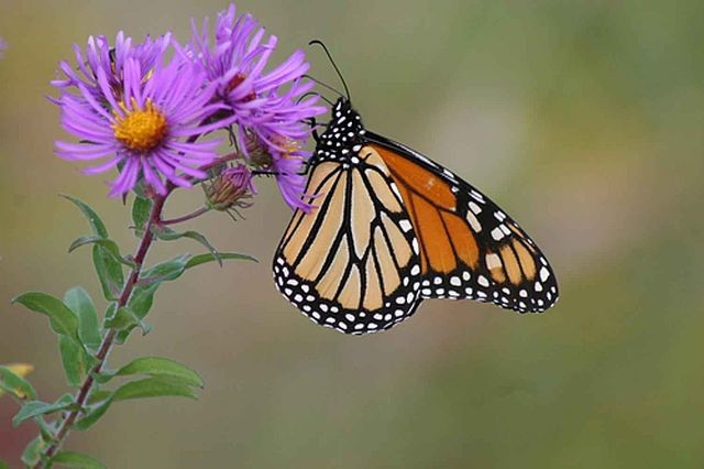 New England Aster, U.S. Fish and Wildlife Service