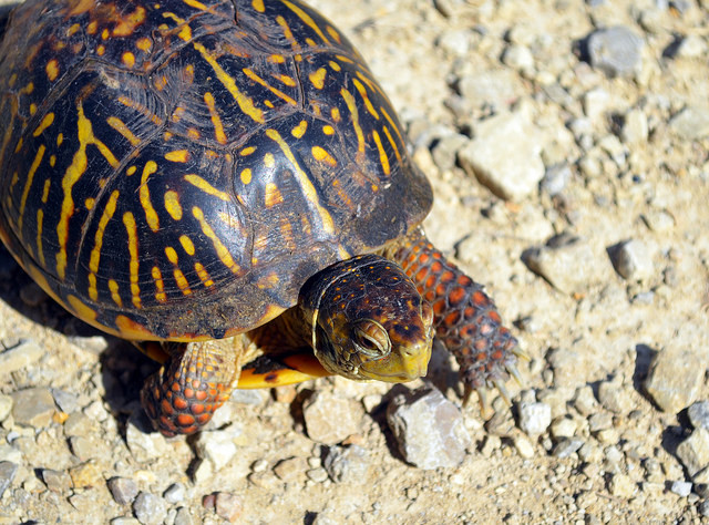 ornate box turtle, USFWSmidwest