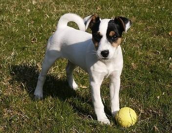 Puppy, image via Wikimedia Commons, photo by Verdlanco