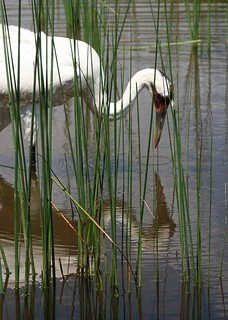 Whooping crane, photo by Michael Leland