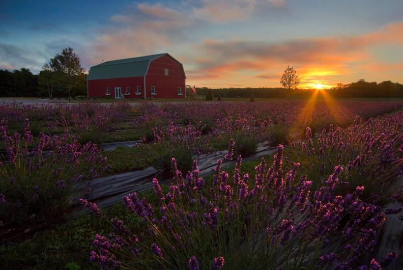 Lavender field at Fragrant Isle Lavender Farm on Washington Island