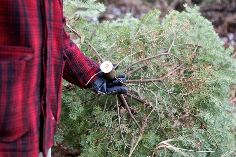 fresh christmas tree, Chiot's Run (CC-BY-NC)