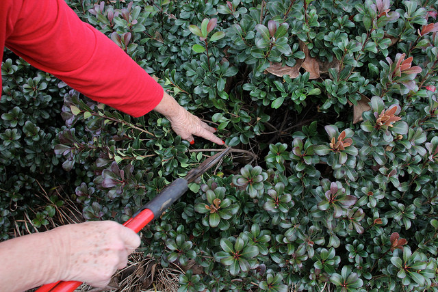 pruning, UGA College of Ag & Environmental Sciences - OCCS  (CC-BY-NC)