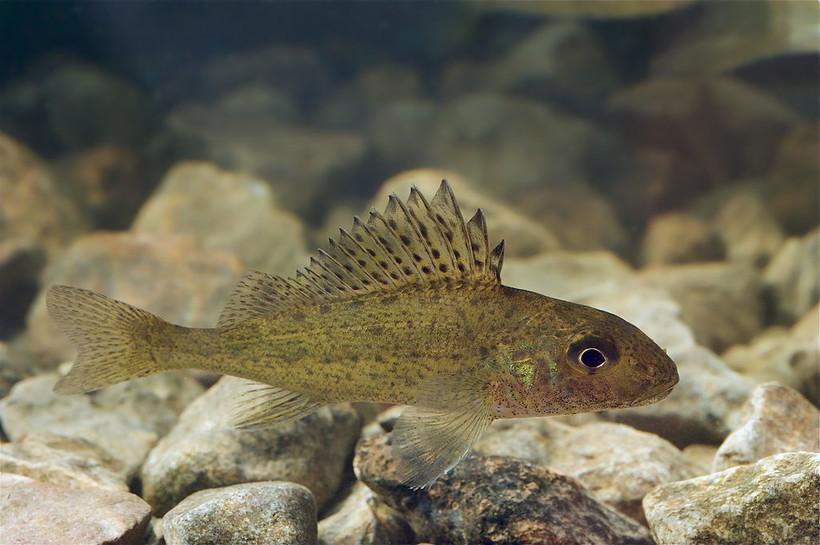 Eurasian Ruffe fish