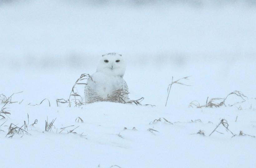 Snowy Owl, taken near Horicon Marsh