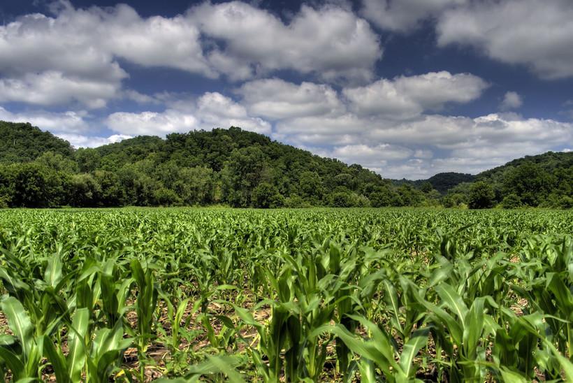 Wisconsin corn field