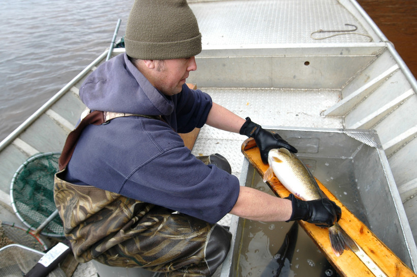 DNR walleye monitoring crew member measures a walleye before releasing it back into White Sand Lake in Vilas County.