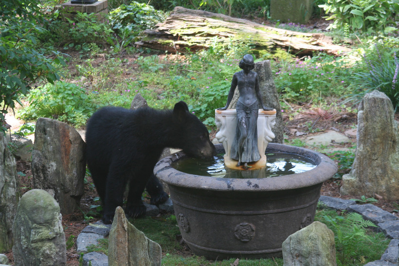 Bear drinks out of fountain in yard