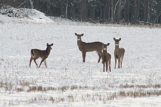 deer in a snowy field