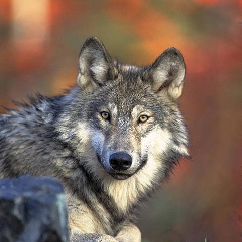 gray wolf, U.S. Fish and Wildlife Service