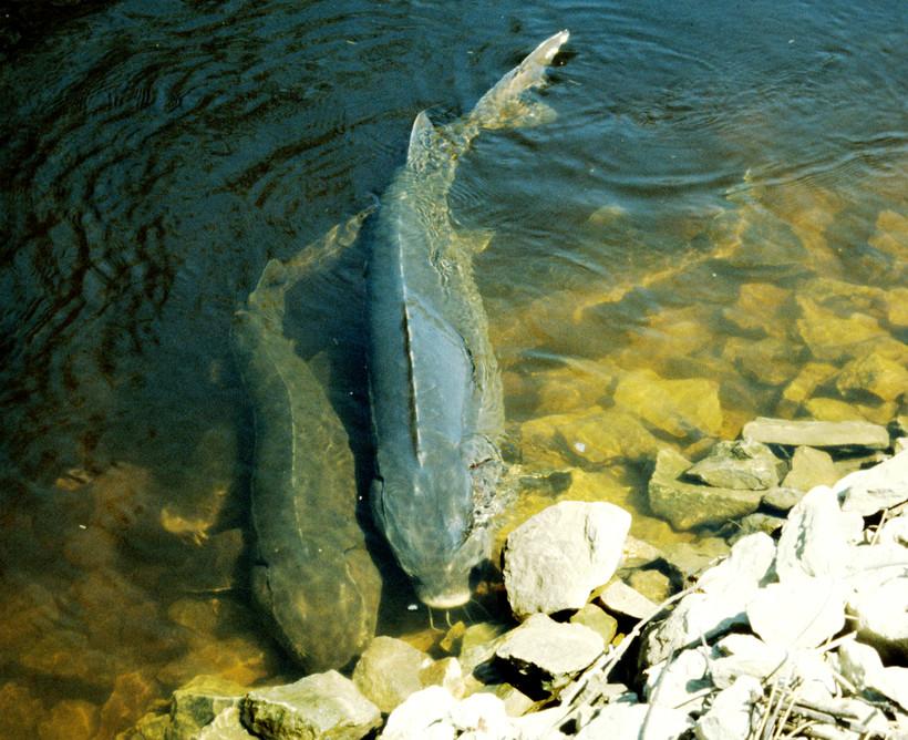 lake sturgeons