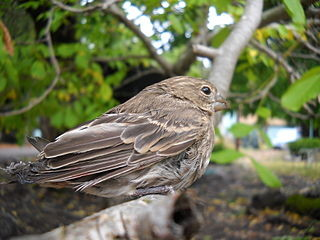 House_Finch_injured_by_cat, image by Wikimedia Commons user AlexAH