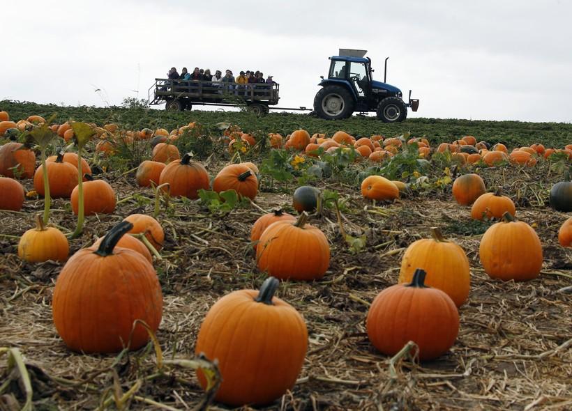 Pumpkin patch, Halloween, fall