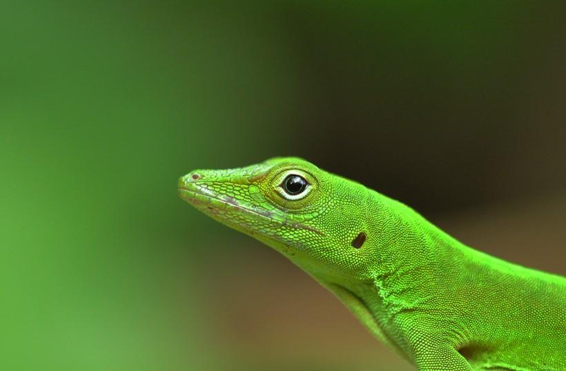 Emerald anole