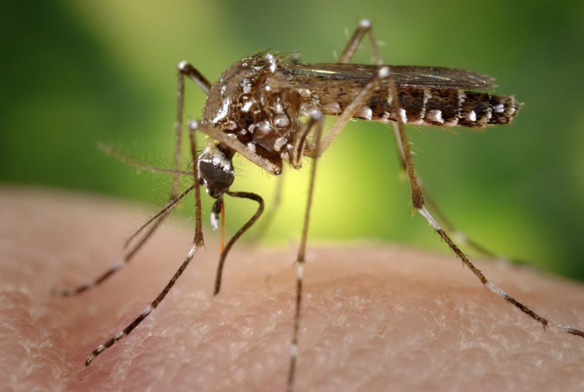 Close-up of a mosquito on human skin