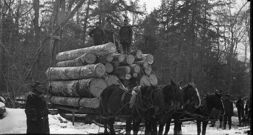 Horses dragging logs out of the forest