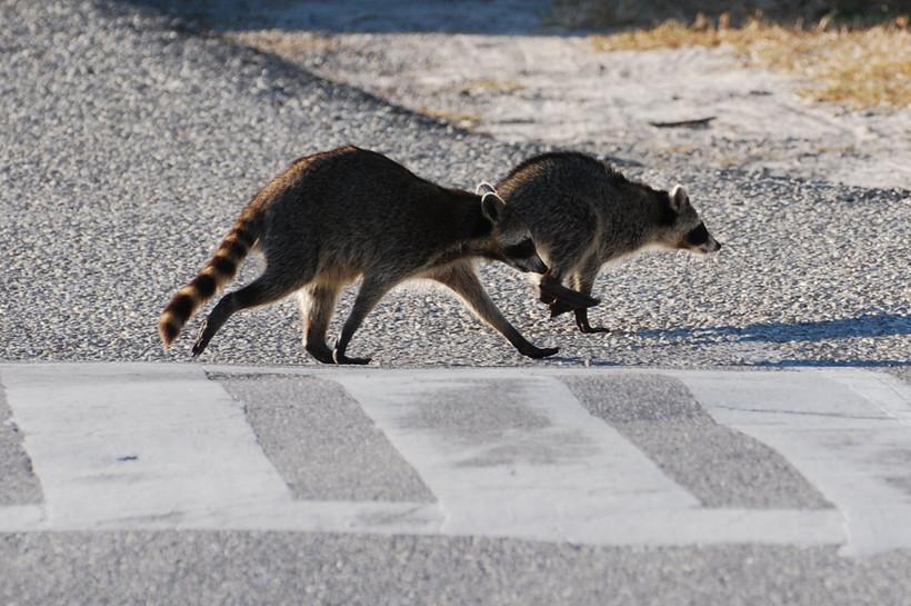 Racoons in a crosswalk