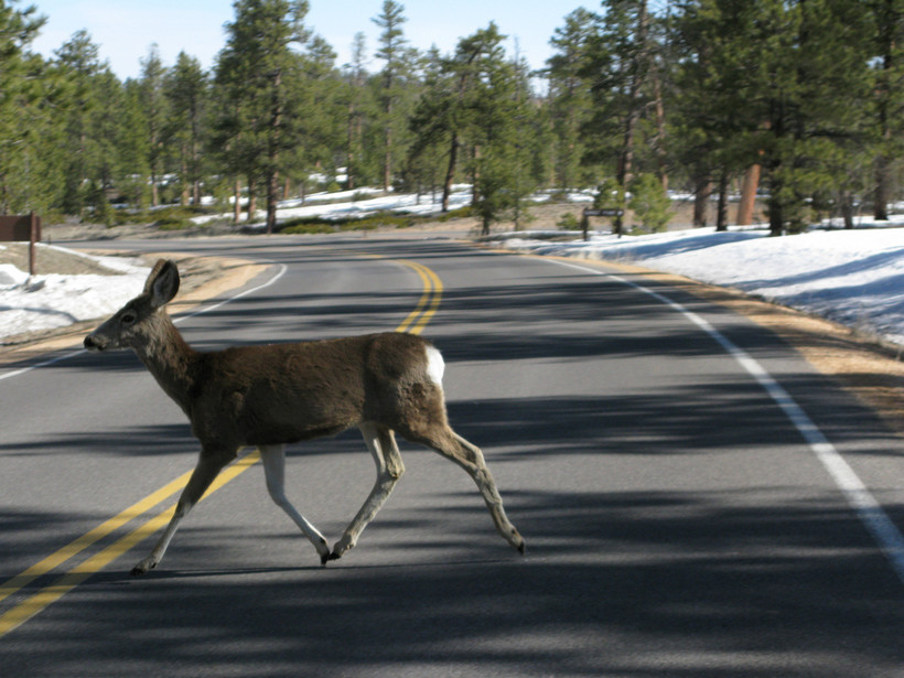 deer crossing road