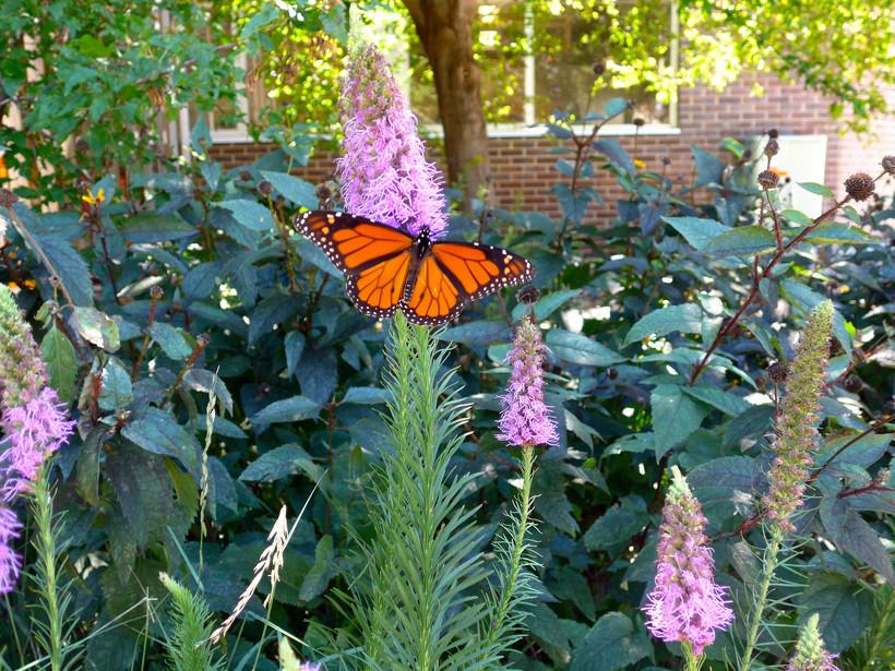 Monarch butterfly in prairie garden