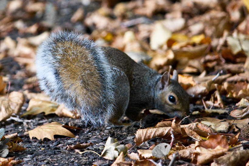 Squirrel with nuts in fall