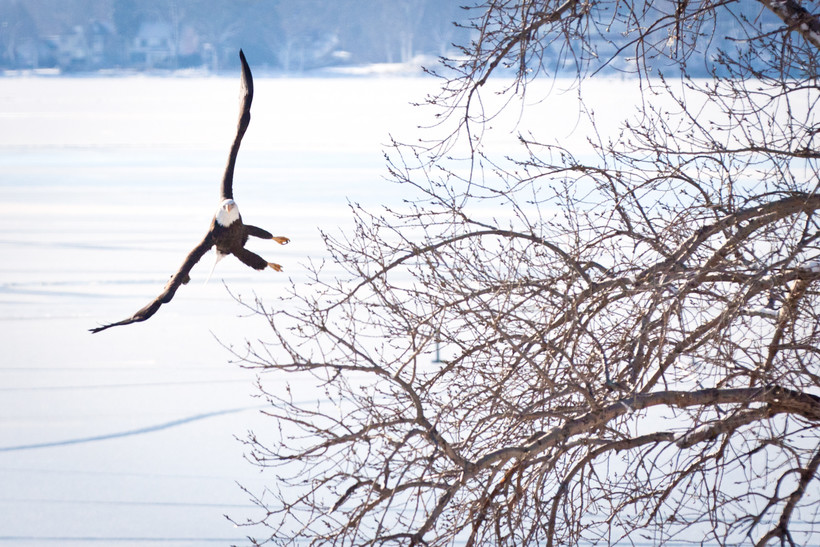 Eagle flying over frozen water