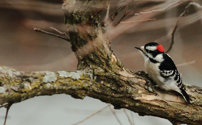 Woodpecker on branch