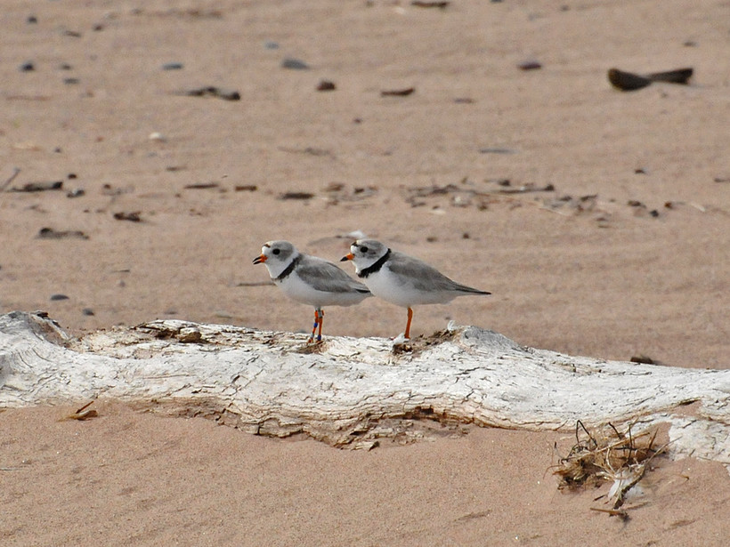 piping plover pair on Wisconsin beach