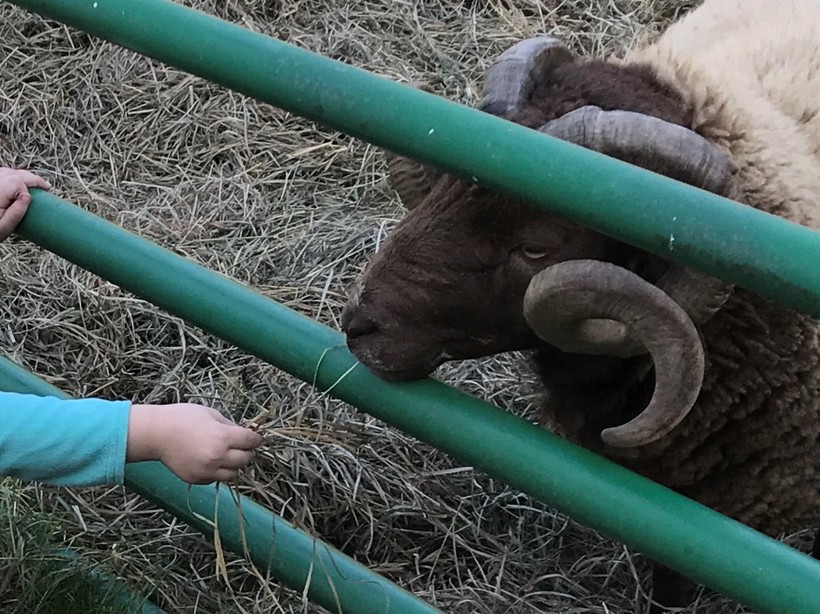 Sheep Farm Kid Child Ranch
