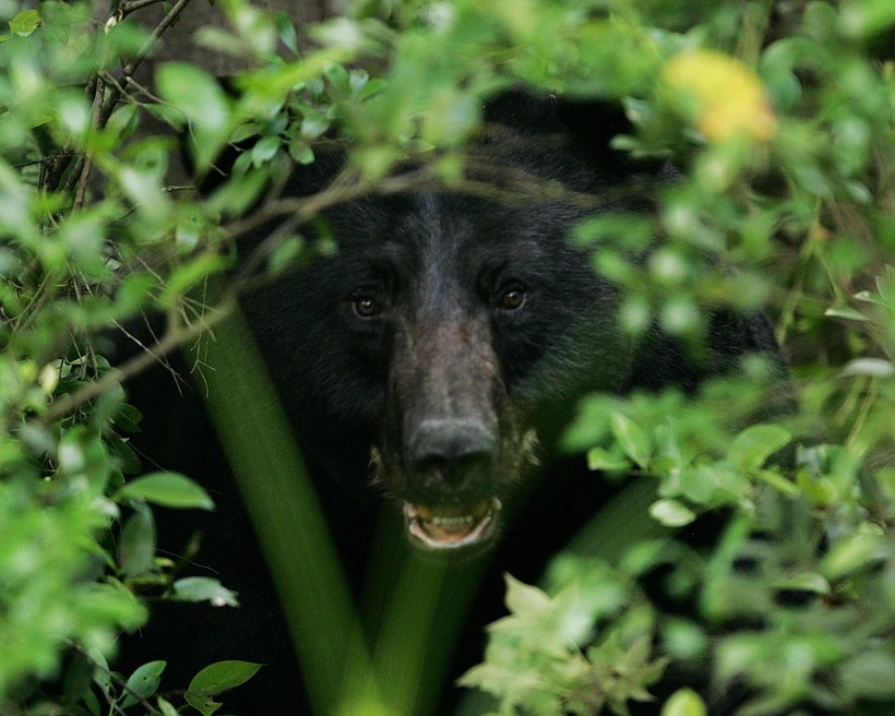 Black Bear peering through foliage